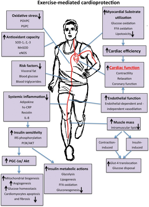 Exercise-induced cardioprotection through the modulation